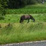 CP D5 HORSE GRAZIN